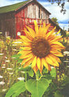 Sunflower And Barn - Avanti Deluxe Matte Blank Card by Avanti Press photo