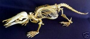 Duck-Billed Platypus Skeleton Replica