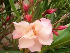Nerium oleander Provence,plant