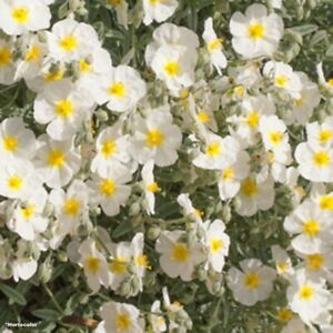 Helianthemum 'The Bride' - Alpines 9cm pots