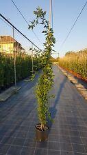 Jasminum Primulinum - Gelsomino Giallo vaso 18