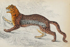 1834 Antique lithograph: Sunda Clouded Leopard. Big Cat. Wild Cat. 186 years old