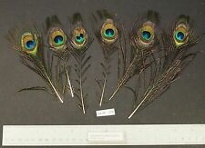 """Six Java Green Peacock Fly Tying 5.5"""" to 8"""" Small Eye Clipped Feathers"""