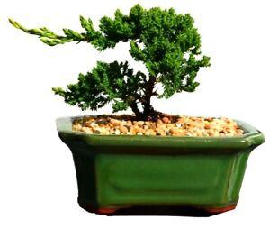 Juniper Squamata Bonsai Tree - Large DIY Kit