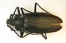 Ctenoscelis ater mae 78mm  (Cerambycidae)