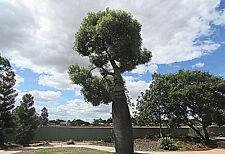 Bottle tree ' Brachychiton rupestris '- ' Brachychiton australis ' 20 seeds