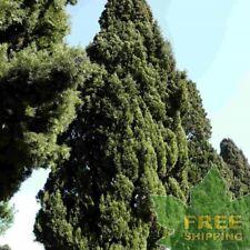 ITALIAN CYPRESS Cupressus Sempervirens - 60 SEEDS. FREE S&H