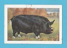ANIMALS - PLAYERS -  SCARCE XL BRITISH LIVE STOCK CARD -  BERKSHIRE   -  1916