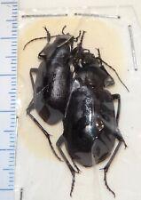 Carabidae Calosoma pregrinator Pair AZ #D Carabid Carabus Ground Beetle Insect
