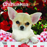 Chihuahua Puppies 2020 Mini Wall Calendar by Browntrout Free Post