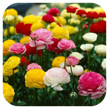 50 Ranunculus (Persian Buttercup) Mixed Spring Flowering Bulbs