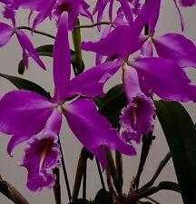 Cattleya maxima ´Goliath 4N´ Hybride Duft Orchidee Orchideen