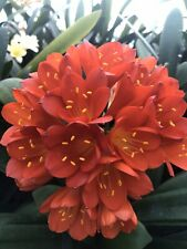 3 x Clivia miniata - Strong RED seeds. UK National Collection holders