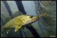 """Realfish Inland Series: """" Walleye """" Fish Mat Foor Mat Doormat 24x36"""