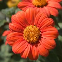 Mexican Sunflower Seeds, Orange, Tithonia, Attract Butterflies, Daisy-Like Bloom