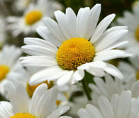 DAISY SHASTA Chrysanthemum Maximum - 500 Seeds