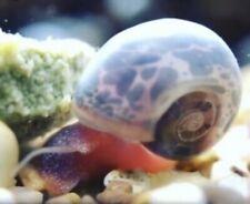 6+Blue Leopard Ramshorn Snails