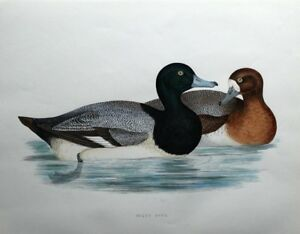 SCAUP DUCK, Beverley Morris original antique bird print 1855