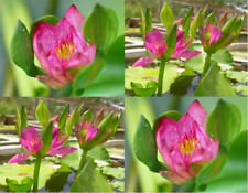 2 Red Nang Kwag water lily pond Live plants + Free Document