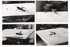 PHOTO ANCIENNE Insecte Lot 4 photos 1965 Mante religieuse Sauterelle Curiosité