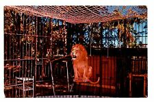Caged Lion Dania Florida Postcard Chimp Farm Vintage Unposted Roaring Animals