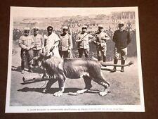 Eritrea nel 1904 Leone regalato al Governatore da Degiac Garasellase