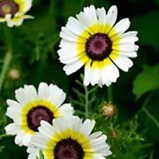 50+ CHRYSANTHEMUM POLAR STAR  ANNUAL FLOWER SEEDS / DEER RESISTANT/ GIFT