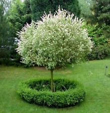 Hochstamm Zierweide Hakuro Nishiki 40-60cm - Salix integra