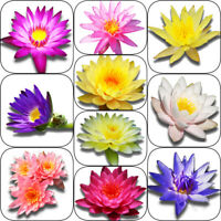 Random Selected Live Water Lily Tuber Aquatic Pond Plant Flower Koi Garden Yard