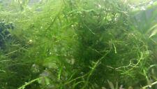 "Java Moss 2""x2"" Freshwater Aquarium Plant-Buy Two Get One Free"
