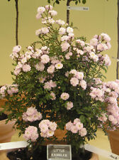 LITTLE RAMBLER - 5.5lt Potted Repeat Rambling Rose -Highly Fragrant Pink / Cream