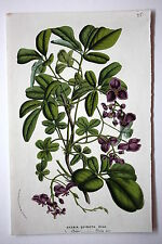 Genuine antique flower print CHOCOLATE VINE 'AKEBIA QUINATA' van Houtte c.1860