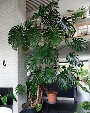 Giant Monstera Deliciosa (Swiss Cheese, Cutleaf Philidendron) 2-3 ft live plant