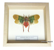 REAL MOUNTED FRAMED INSECT - Scamandra selene - GREEN WINGED LANTERNFLY