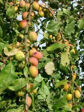 Potted PERSHORE PLUM TREE 3ft Edible Sweet Fruit Patio Garden Orchard Hedge