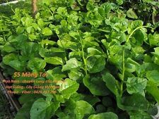 asian vegetable seeds - Spinach - Rau Mong Toi (7gam)