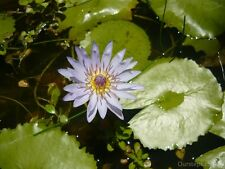 Blue Waterlily Plant / Fragrant Scent /  1 Flowered Plant/  蓝色香水莲clearance sale