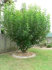 10 Mulberry Tree Cuttings, Organic, 8 inch length - Easy to grow & produce well