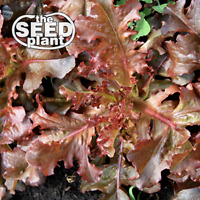Red Salad Bowl Lettuce Seeds - 500 SEEDS NON-GMO