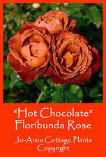 HOT CHOCOLATE FLORIBUNDA ROSE SCENTED REPEAT FLOWERING BARE ROOTED ** 4 FOR 3 **