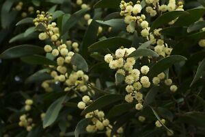Blackwood Seeds (Acacia melanoxylon) 20 Fresh seeds Tasmanian
