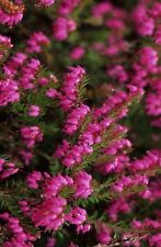 (4 PACK) 9cm Pot Heather Erica Carnea Porters Red Winter Flowering Ground Cover