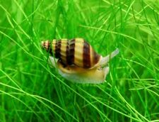10 Assassin Snail
