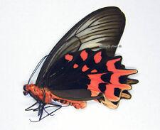 Unmounted Butterfly/Papilionidae - Atrophaneura semperi albofasciata, FEMALE