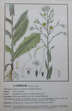 ca. 1940 GIFTLATTICH Lactuca Virosa alter Druck print Litho Pflanzen Botanik