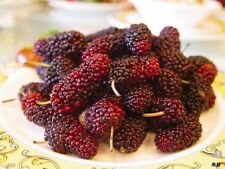 15 MULBERRY Tree Bush Fruit Morus Rubra Seeds + Gift & Comb S/H