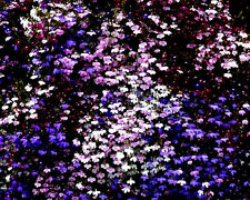 5500 Semillas de Lobelia Pendula VARIADAS / Flores