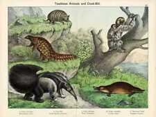 1886 Schubert Chromolithograph armadillo, platypus, pangolin, anteater, sloth