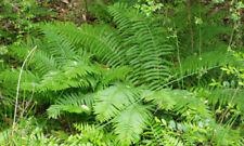 Cinnamon Fern 12 Bare Root Plants