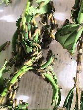 10 x Eri Silk Moth Caterpillars